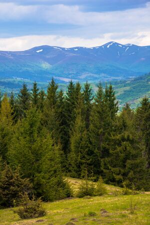 forested hills of Carpathians in spring. spruce trees on the grass covered meadow. borzhava mountain ridge with some snow on the tops in the distance. fresh weather with clouds on the sky
