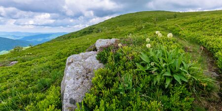 wild plants and flowers on the hillside. beautiful nature scenery of alpine grassy meadows in carpathian mountains. summer weather with cloudy sky