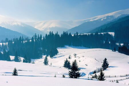 mountainous rural landscape in wintertime. stunning scenery on a bright sunny day. spruce forest on snow covered rolling hills. beautiful scenery of borzhava ridge