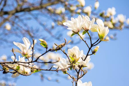 white magnolia blossom. beautiful nature scenery in spring. twigs with flowers on a blue sky background Stock Photo
