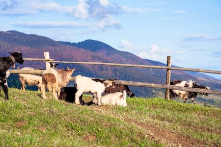 herd of goats on the alpine meadow in spring. beautiful rural scenery in evening light. mountain ridge in the distance. wonderful sunny weather with fluffy clouds on the blue sky Stock Photo