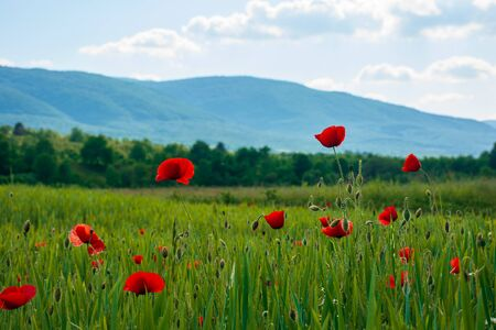 red poppy blooming in the field. beautiful countryside scenery of mountainous area. wonderful summer weather in the afternoon. blue sky with clouds Stock Photo