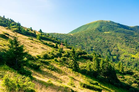 mountain scenery in the morning. coniferous trees on forested hillside with grassy slopes. sunny weather with cloudless sky. chernogora ridge landscape of carpathians in late summer time Stock Photo - 139183922