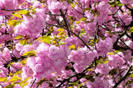 pink sakura blossom on the street. beautiful nature scenery in small town. sunny springtime weather. perfect background for taking selfies