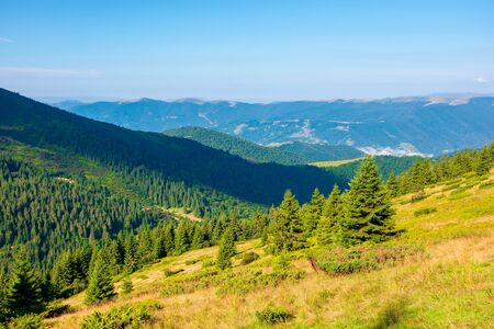 mountain scenery in the morning. coniferous trees on forested hillside with grassy slopes. sunny weather with cloudless sky. svydovets ridge in the distance