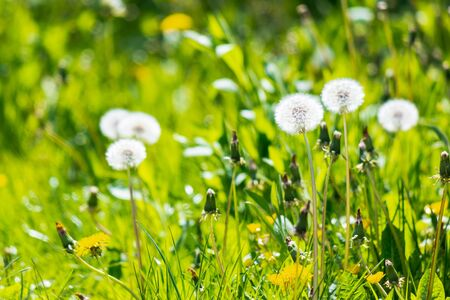 white fluffy dandelions in the grass. beautiful nature background Stock Photo - 140833124