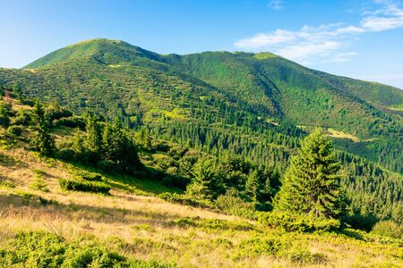 mountain scenery in the morning. coniferous trees on forested hillside with grassy slopes. wonderful sunny weather with cloudless sky. chernogora ridge landscape of carpathians in late summer time Stock Photo - 139859092