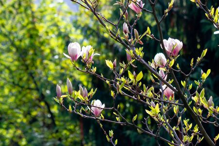 white magnolia blossom background in backlit sunlight. beautiful nature scenery in springtime Stock Photo