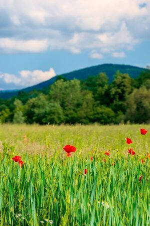 red poppy blooming in the field. beautiful countryside scenery of mountainous area. wonderful summer weather in the afternoon. blue sky with clouds Stock Photo - 139859068