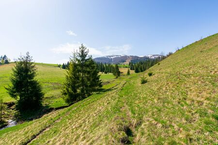 valley of borzhava mountain ridge in springtime. small brook among spruce trees on the green grassy meadow. beautiful countryside on a bright sunny day. snow on the summits