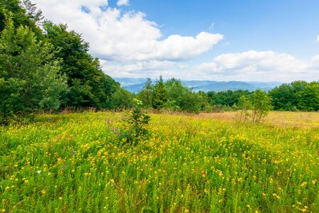 mountain meadow. beech forest on the edge of a hill. wonderful summer landscape with fluffy clouds on a blue sky. wild herbs among the grass. ridge rolling in to the distance