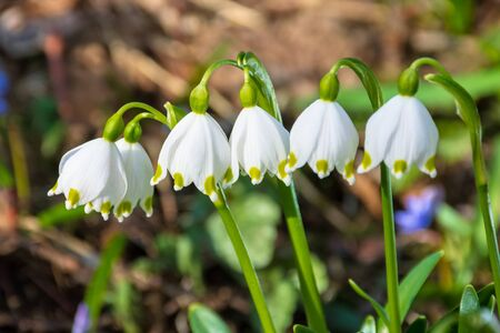bunch of snow drop flowers in the woods. beautiful nature background in springtime. sunny weather. blurry background.