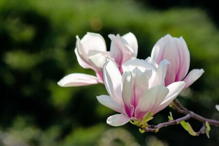 blooming branches of magnolia in sunlight. wonderful nature background in spring Stock Photo