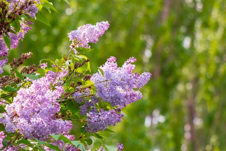 lilac shrub in blossom. beautiful springtime nature background in morning light. Stock Photo - 140833176