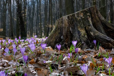 crocus flower near the stump in the forest. beauty of wild purple blooming in springtime Stock Photo