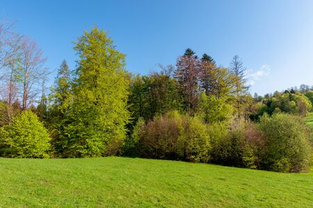 forest on the hill in spring. beautiful nature scenery on a sunny day. meadow in fresh green grass