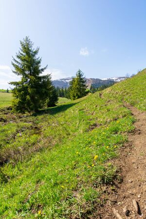 valley of borzhava mountain ridge in springtime. small brook among spruce trees on the green grassy meadow. wonderful countryside on a sunny day. snow on the summits