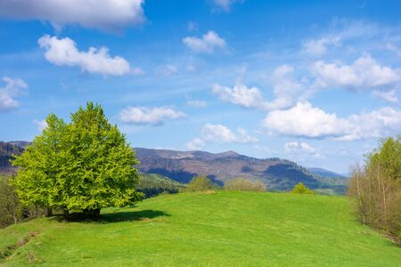 beech tree on the grassy meadow in springtime. wonderful mountainous scenery on a sunny but windy day. gorgeous cloudscape beneath azure sky. ridge in the distance. beauty of carpathian nature