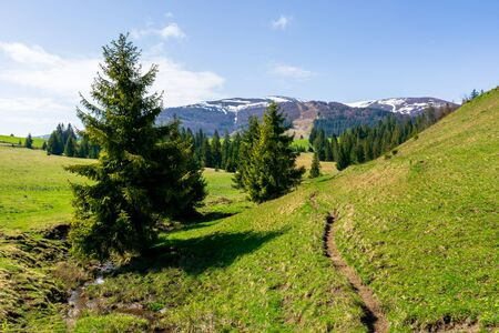 valley of borzhava mountain ridge in springtime. small brook among spruce trees on the green grassy meadow. beautiful countryside on a sunny day. snow on the summits