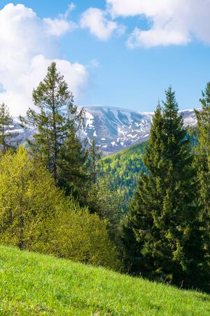 wonderful landscape in springtime. row of trees on the meadow. mountain ridge beneath a blue sky with fluffy clouds in the distance. warm sunny weather