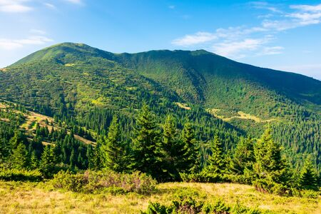 mountain scenery in the morning. coniferous trees on forested hillside with grassy slopes. sunny weather with cloudless sky. chernogora ridge landscape of carpathians in late summer time Stock Photo - 140833605