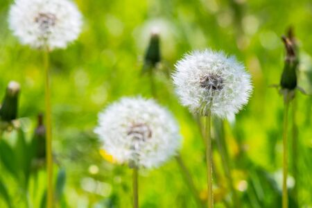white fluffy dandelions in the tall green grass. beautiful nature background