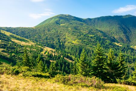 mountain scenery in the morning. coniferous trees on forested hillside with grassy slopes. sunny weather with cloudless sky. chernogora ridge landscape of carpathians in late summer time