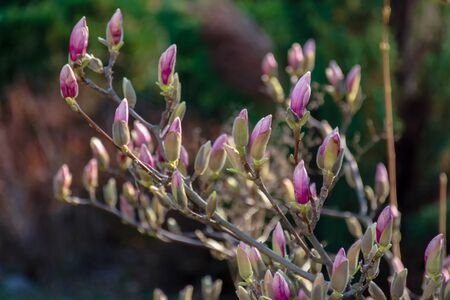 closed buds of magnolia tree. beautiful nature scenery in morning light. green and purple colors Stock Photo