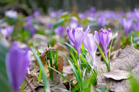 crocus flower in the forest. beauty of wild purple blooming in springtime Stock Photo