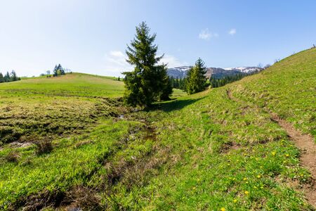 valley of borzhava mountain ridge in springtime. small brook among spruce trees on the green grassy meadow. wonderful rural landscape on a sunny day. snow on the summits