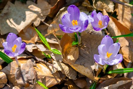 wild saffron flowers in the forest. wonderful sunny day in springtime Stock Photo