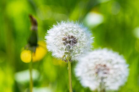 white puffy dandelions in the tall green grass. beautiful nature background Stock Photo - 141829167