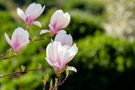 magnolia flowers closeup on a branch. beautiful blossoming garden background in springtime.