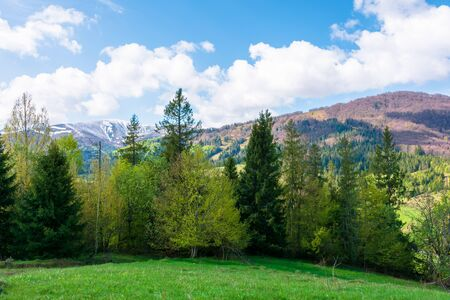 great landscape in springtime. row of trees on the meadow. mountain ridge beneath a blue sky with fluffy clouds in the distance. warm sunny weather