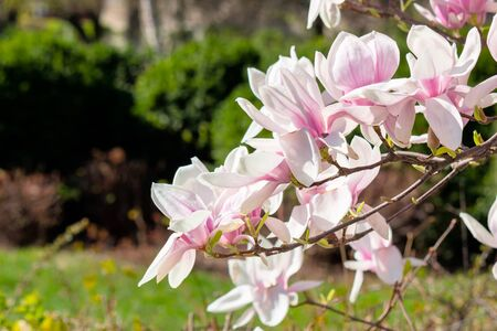 blooming branches of magnolia in sunlight. wonderful nature background in spring Stock Photo - 141829175