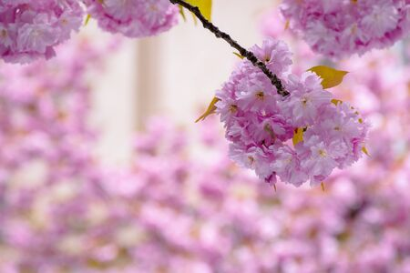 blossoming sakura tree background. beautiful pink flowers on the branches in spring Stock Photo