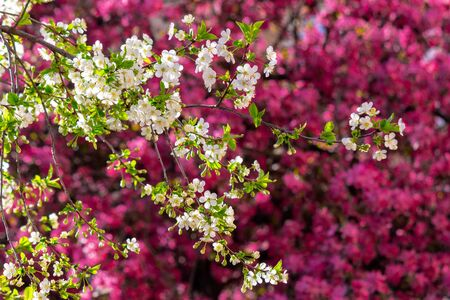 white apple blossom on a magenta background. tender flowers on the branches in spring. warm sunny weather Stock Photo - 141156726