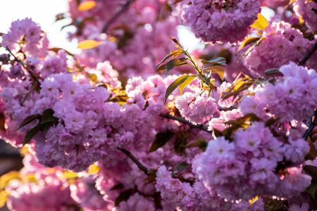 pink cherry blossom background in backlit sunlight. beautiful nature scenery in springtime Stock Photo