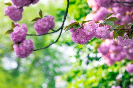 pink cherry blossom close up on the branch. beaty of japanese sakura season. wonderful nature background
