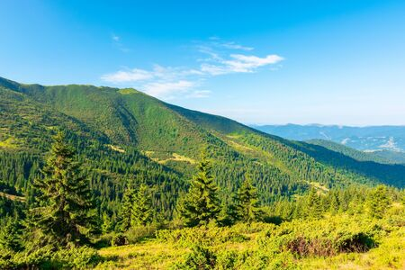 mountain scenery in the morning. coniferous trees on forested hillside with grassy slopes. stunning sunny weather with cloudless sky. svydovets ridge in the distance