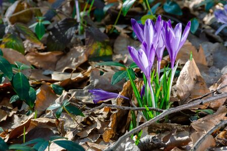 wild saffron flowers in the forest. wonderful sunny day in springtime Stock Photo - 141846202