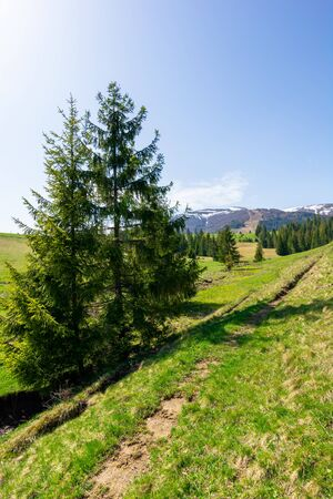 valley of borzhava mountain ridge in springtime. small brook among spruce trees on the green grassy meadow. beautiful rural landscape on a bright sunny day. snow on the summits