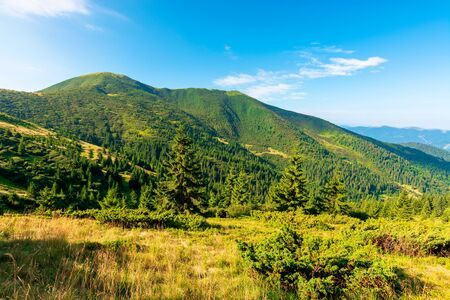 mountain scenery in the morning. coniferous trees on forested hillside with grassy slopes. beautiful sunny weather with cloudless sky. chernogora ridge landscape of carpathians in late summer time
