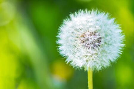 white fluffy dandelion in the tall green grass. beautiful nature background Stock Photo