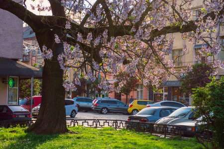 Uzhhorod, ukraine - MAY 01, 2018: Paulownia tomentosa tree in blossom, located on Koriatovycha Square. wonderful cityscape of the old town at sunset in evening light. Editorial