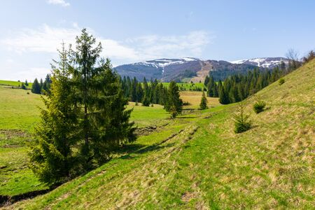 valley of borzhava mountain range in springtime. small brook among spruce trees on the green grassy meadow. beautiful rural landscape on a sunny day. snow on the summits Stock Photo