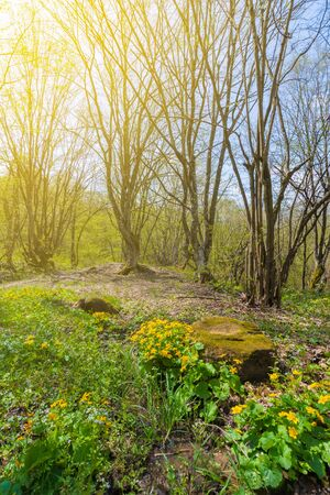 path through forest on a sunny day in spring. leafless trees. yellow herbs by the road Stock Photo
