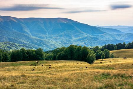 carpathian mountain landscape in summer. weathered grass on the meadow. beech forest on the edge of a hill. rural valley  in the distance. sunny august afternoon with clouds on the sky Stock Photo