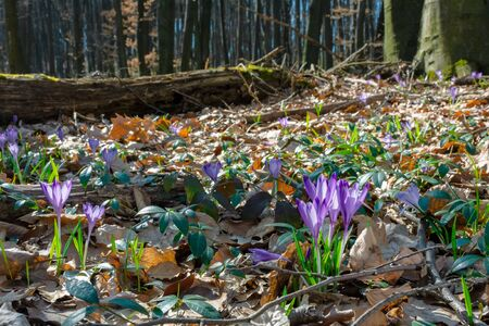 wild saffron flowers in the forest. wonderful sunny day in springtime Stock Photo - 142154182
