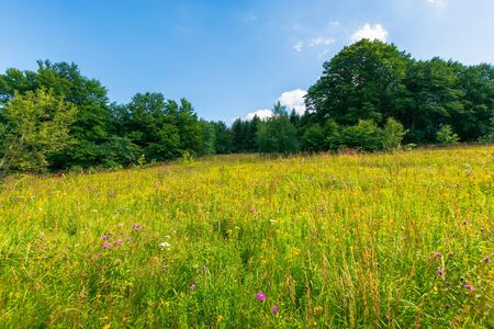 grassy meadow with wild herbs in summer. primeval beech forest around the glade. sunny summer weather with some clouds on the blue sky